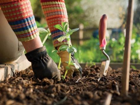 Gardener planing a new seedling